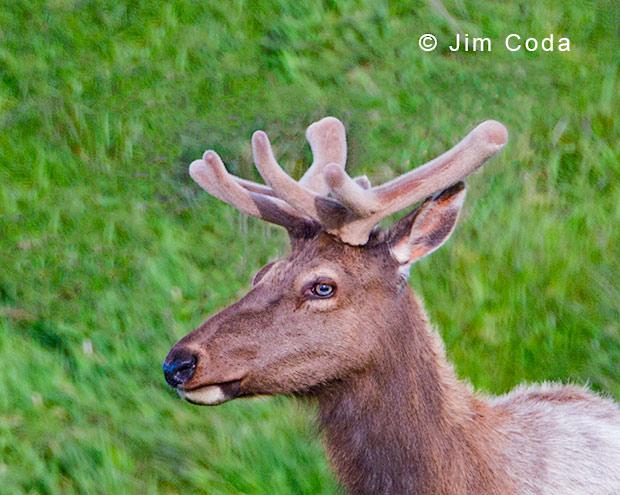 Close-up profile of elk in velvet