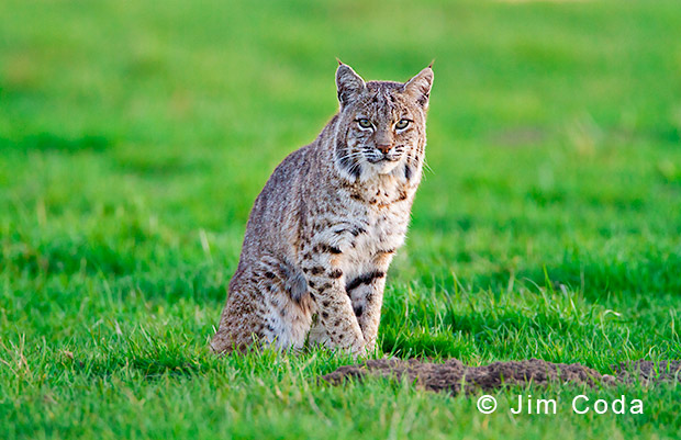 A bobcat sits by a gopher hole.