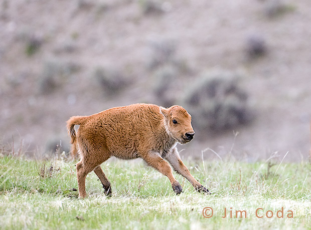 A very young bison calf enjoys a run.
