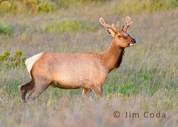 A young bull tule elk poses in the late afternoon light.