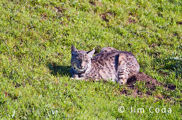 A bobcat rests with its legs in a burrow.