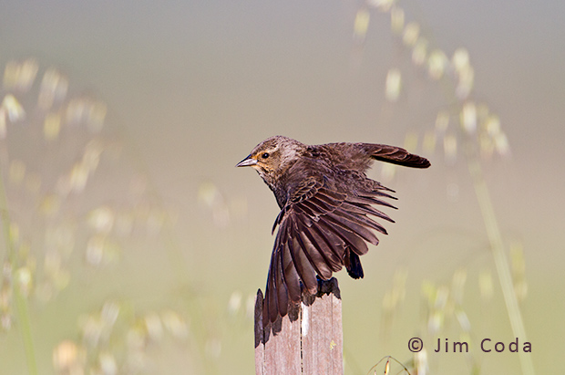 A red-winged blackbird stretches her wings.