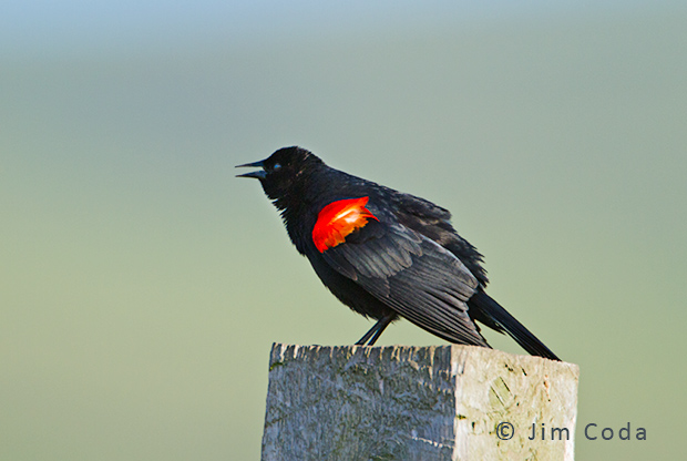 A red-winged blackbird calls from a fence post.