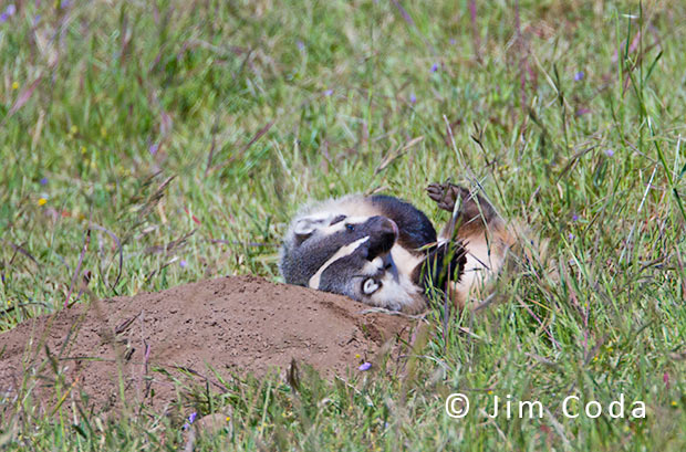 An American Badger cub rolls on its back.