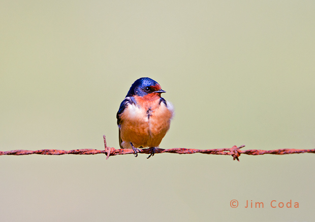 A barn swallow rests on barbed wire.