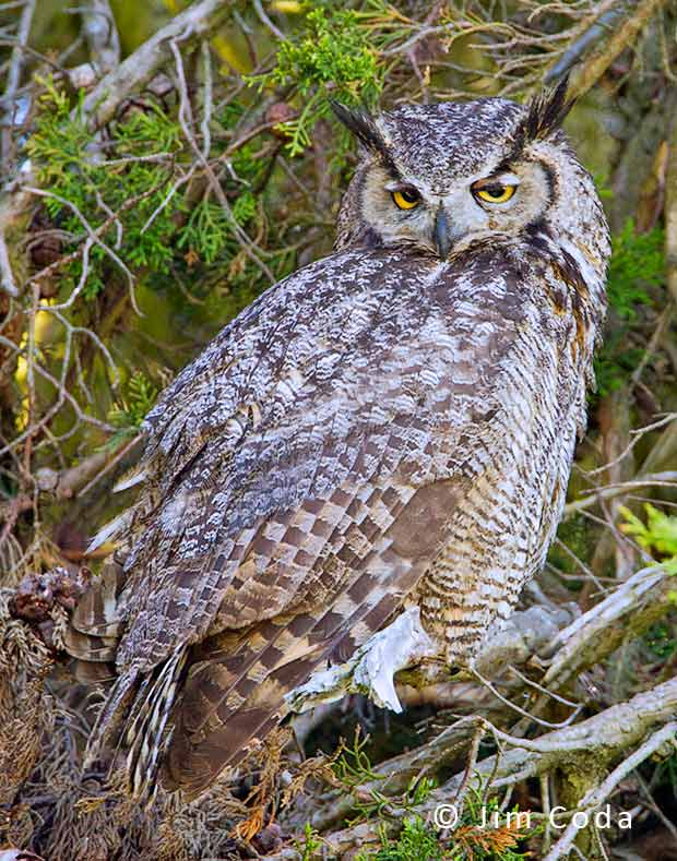 Photo of great horned owl perched in tree.