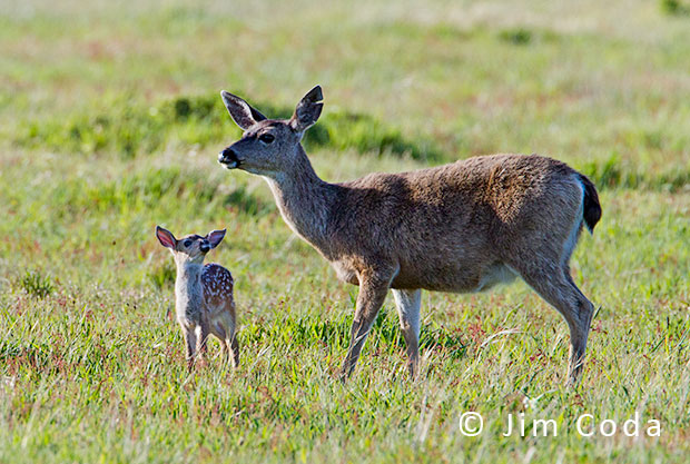 Blacktail Doe and Fawn, Point Reyes National Seashore