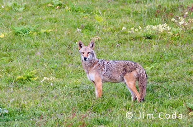A coyote hunts on the Tomales Peninsula.