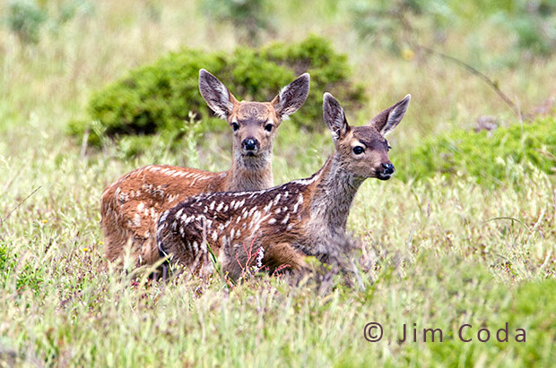 Two Columbia blacktail fawns explore their world.