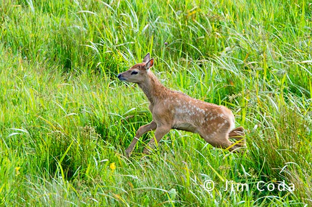 This is a photo of a tule elk calf running through tall grass.