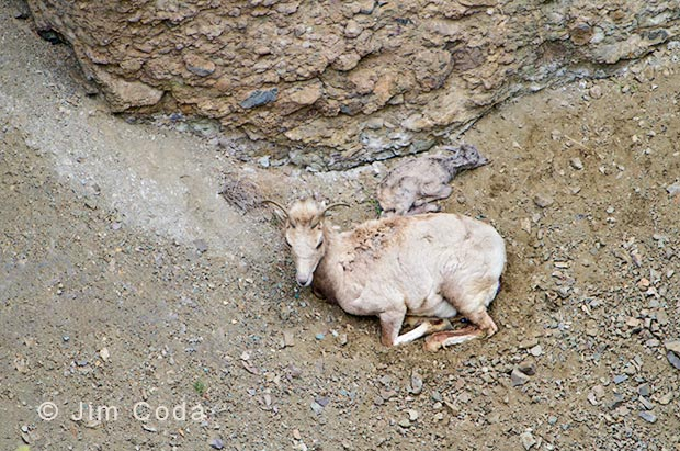 Photo of bighorn ewe and lamb using telephoto lens.