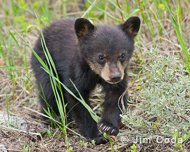 Photo of black bear spring cub walking through tall grass.