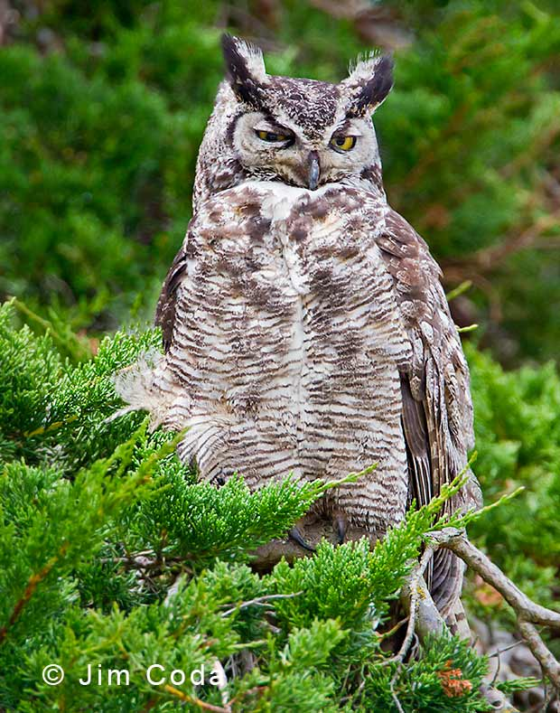A great horned owl waits for darkness.