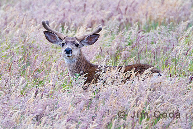 A Columbia Blacktail Buck feeds in a field of tall grass.