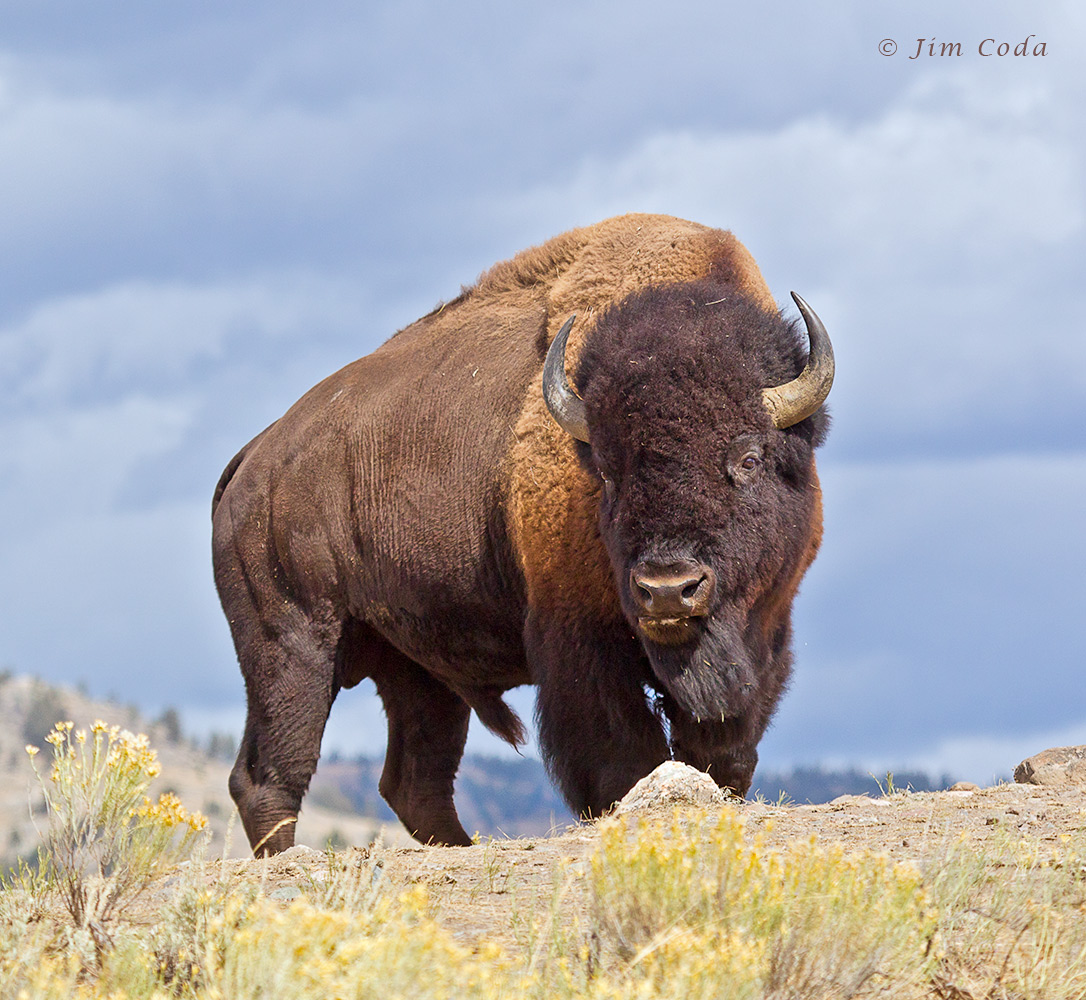 Bull bison stands on t...