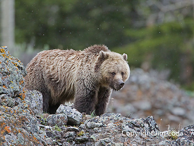 Photo of grizzly bear.