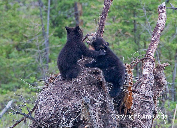 Photo of black bear cubs playing.
