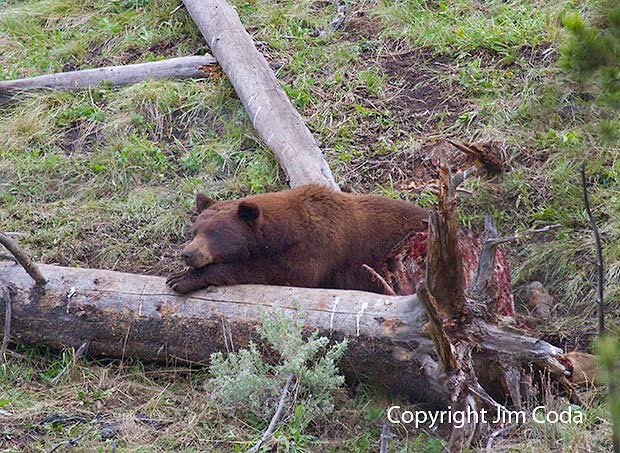 Photo of black bear protecting an elk carcass from other predators.