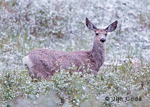 Photo of mule deer doe in light snow.