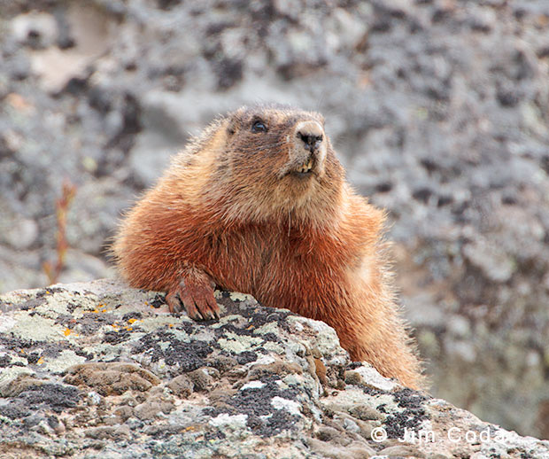 Photo of yellow-bellied marmot.