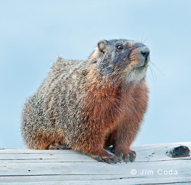 Photo of yellow-bellied marmot on a log.