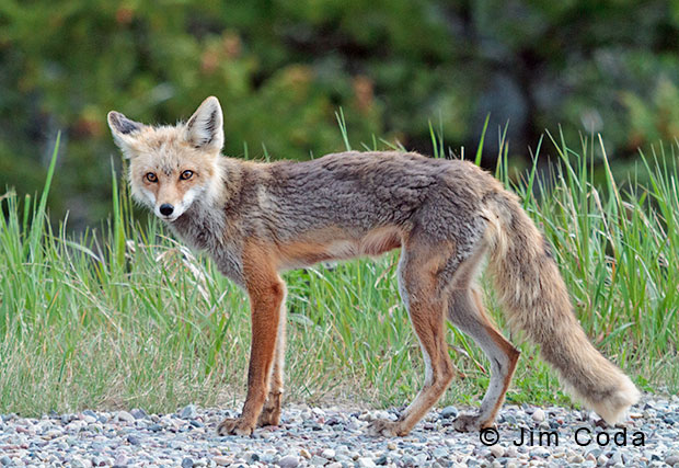 Photo of a gray fox.