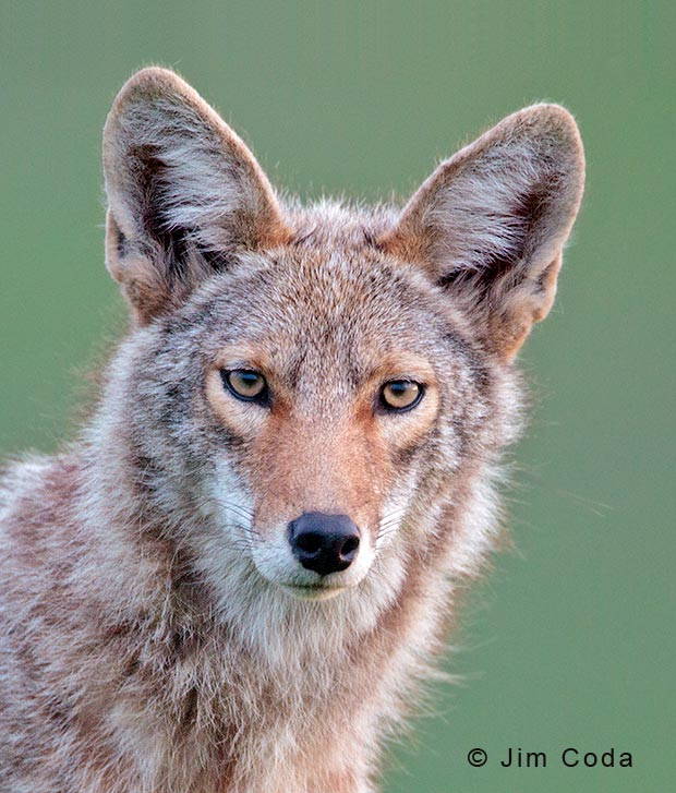 Portrait of a coyote.