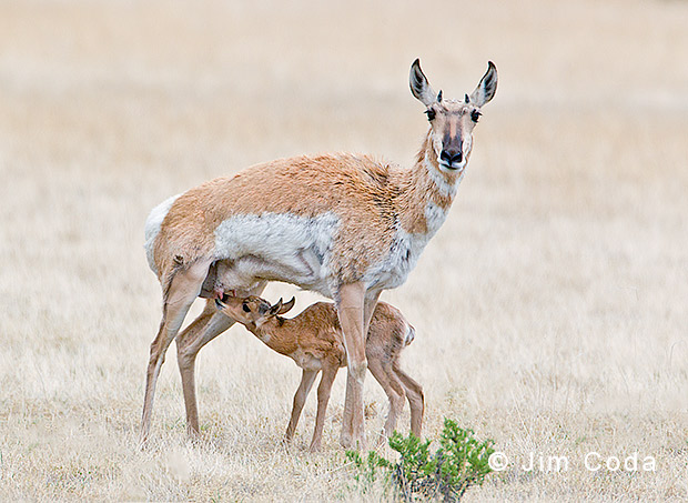 Photo of a pronghorn doe nursing her fawn.