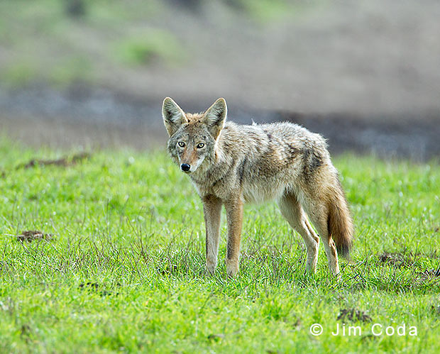Photo of a coyote at Point Reyes National Seashore.
