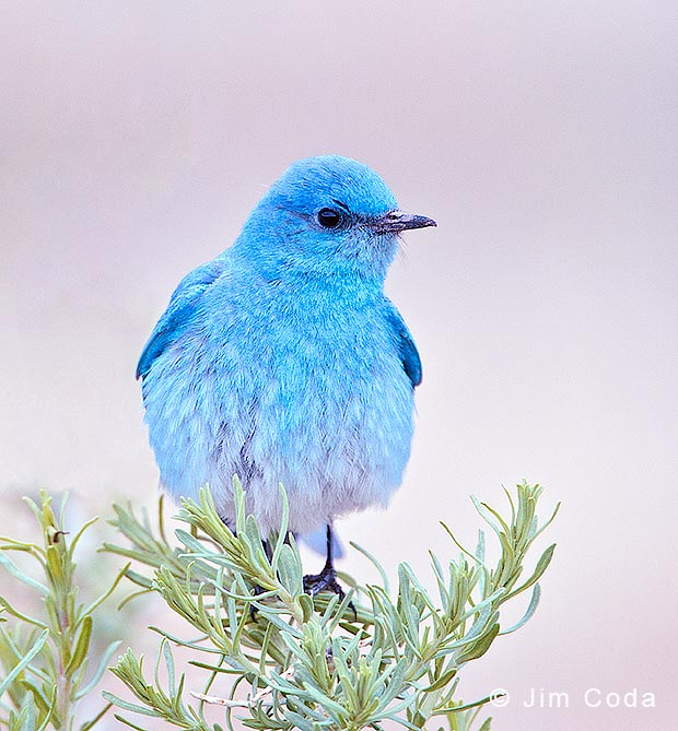 Photo of mountain bluebird.