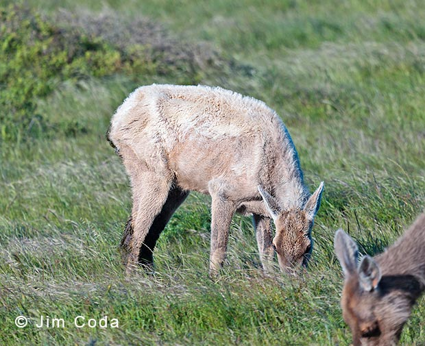 Photo of tule elk with Johne's Disease.