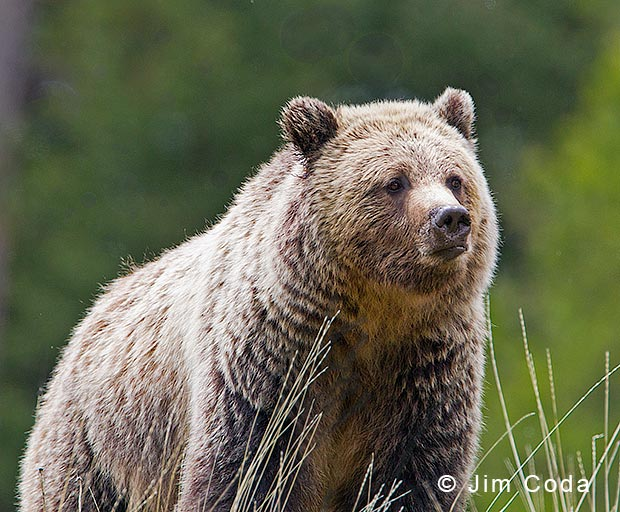 Photo of a grizzly bear.