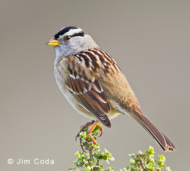 Photo of white-crowned sparrow.
