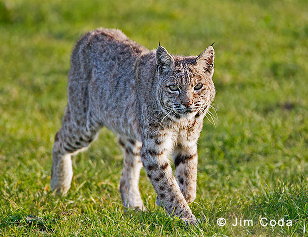 Photo of a male bobcat at Point reyes.
