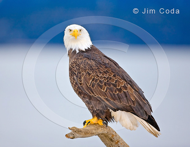 Photo of a bald eagle perched on a broken branch.