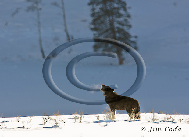 Photo of wolf howling.