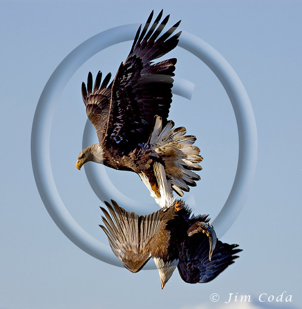 Photo of one bald eagle carrying another with a fish in its talons.
