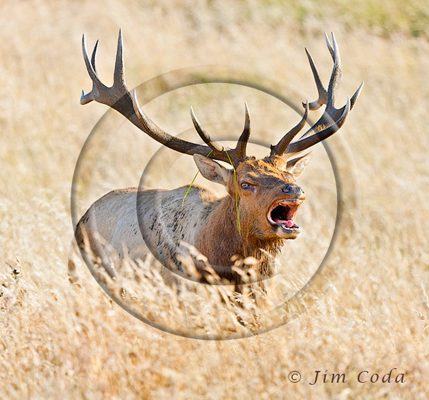 Photo of a 7-point bull bugling during the rut.