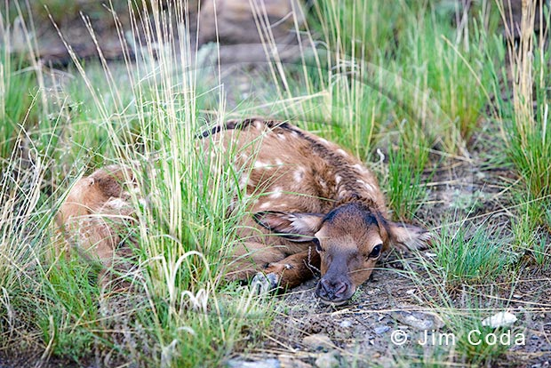 Photo of an elk calf lying perfectly still.