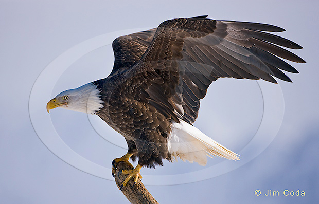 Photo of a bald eagle about to take off.