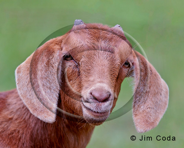 Photo of a young goat.
