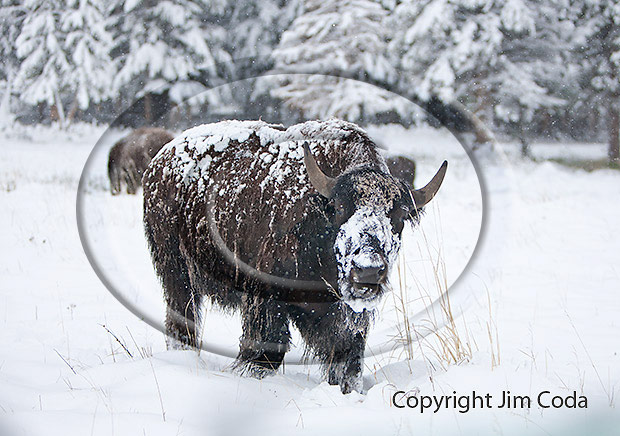 Photo of a bison feeding during a snowstorm on Memorial Day.