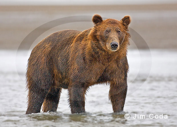 Photo of large male brown bear.