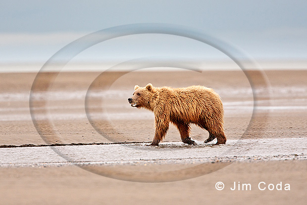 Photo of a one year old brown bear.
