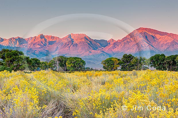 This photo is a view of the Sierras with rabbit brush in the foreground. This photo was taken from Bishop, California.