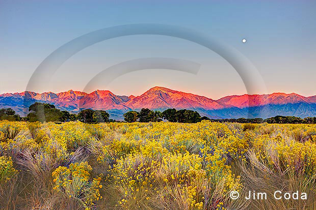 This photo depicts a view of the Sierras with rabbit brush in the foreground.