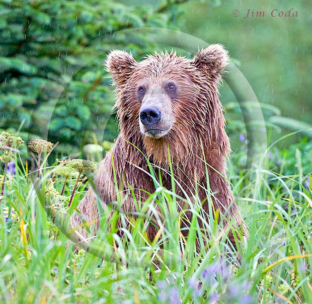 Photo of a brown bear wet from a month of rain.