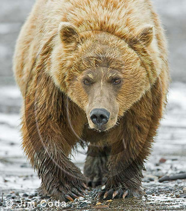 Photo of female brown bear walking along the beach.