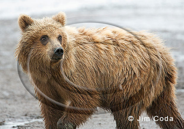 Photo of brown bear cub.