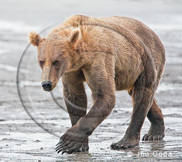 Photo of big male brown bear.